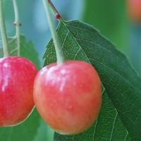 Vida Cristã Frutífera (11 estudos em belas apresentações de PP para Escola Dominical ou Grupos)
